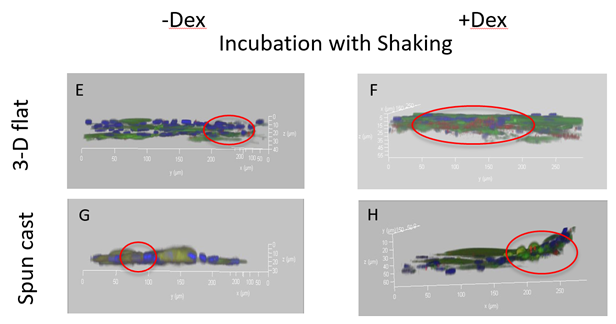 E) 3-D prints treated with shaking stimulus had small amounts of dense biomineralization. F) 3-D printed scaffolds treated with shaking stimulus and dexamethasone showed the largest amount of calcification spread throughout the scaffold. G) Spuncast with shaking stimulus shows very minimal amounts of calcification and H) Spuncast with shaking stimulus and dexamethasone treatment showed a slight increase in calcification in comparison to G. Overall, shaking increased proliferation and differentiation levels.
