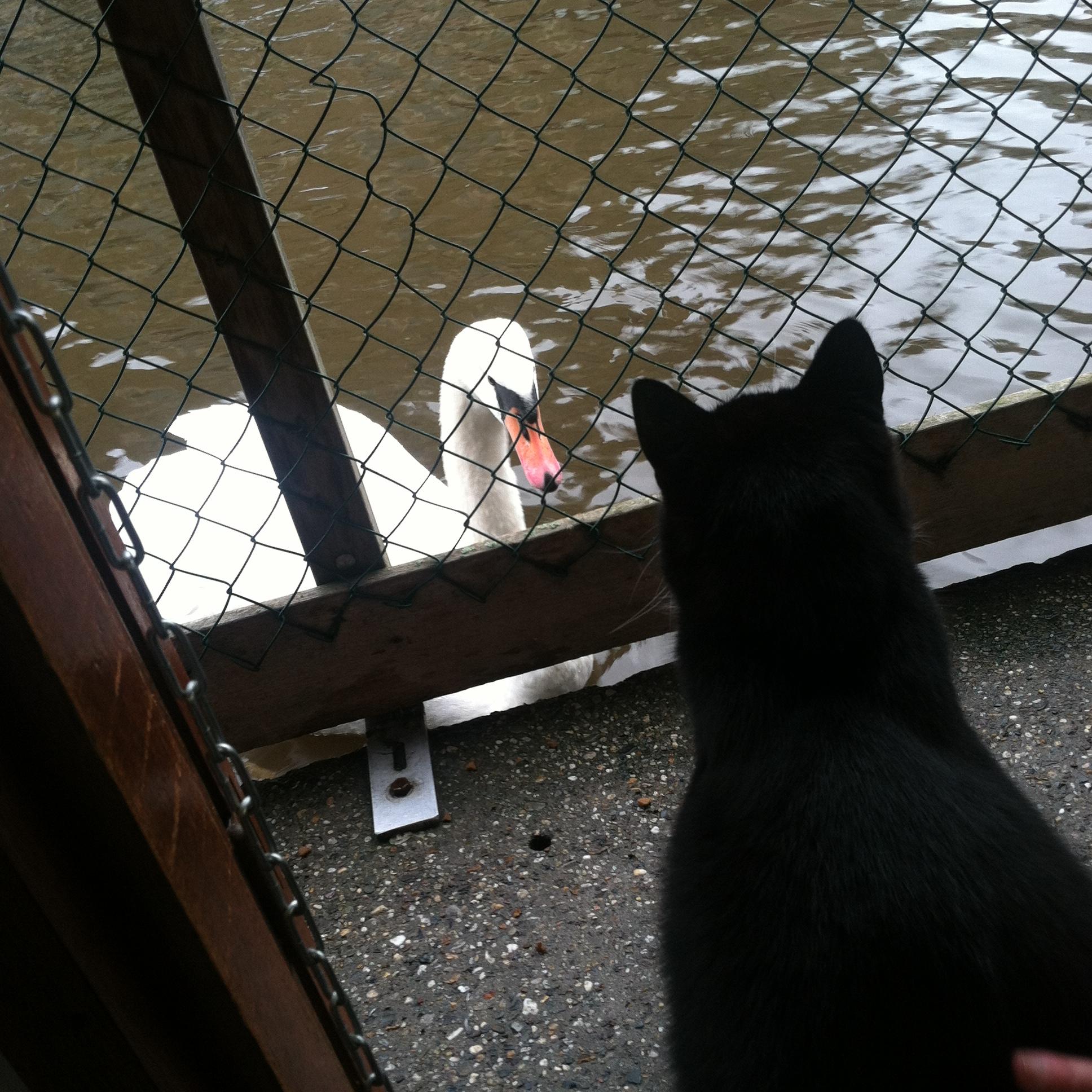 Swan, meet poes. Poes, meet swan. Hoi.