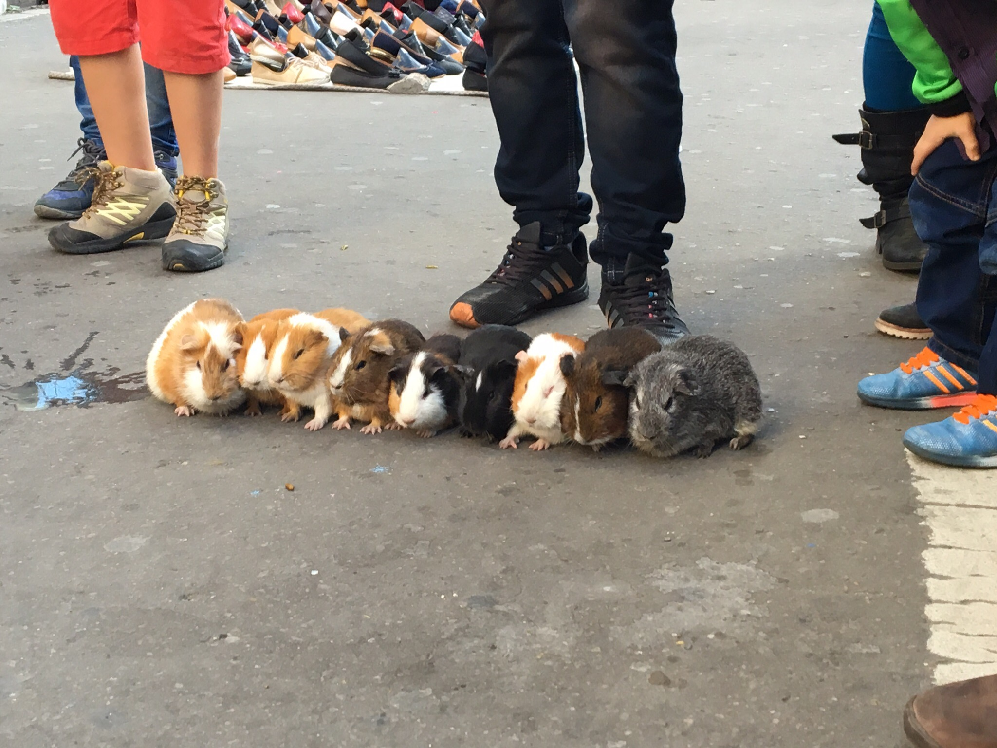 Guinea pig races are everywhere on the streets of Bogota! I regret never seeing one in action.