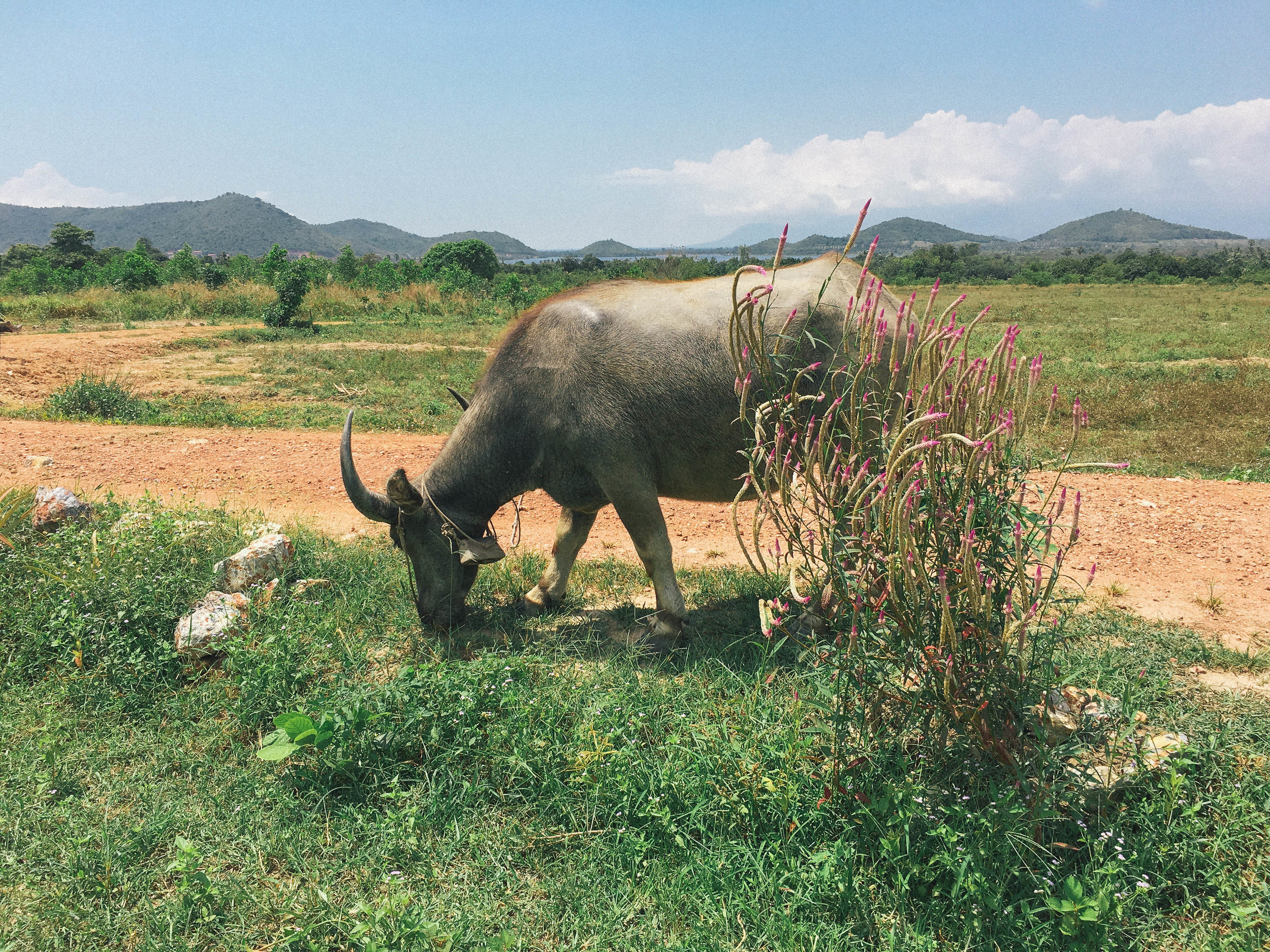 Water buffalo are sacred in Southeast Asia. This photo was taken at a peppercorn plantation in Kampot, Cambodia.