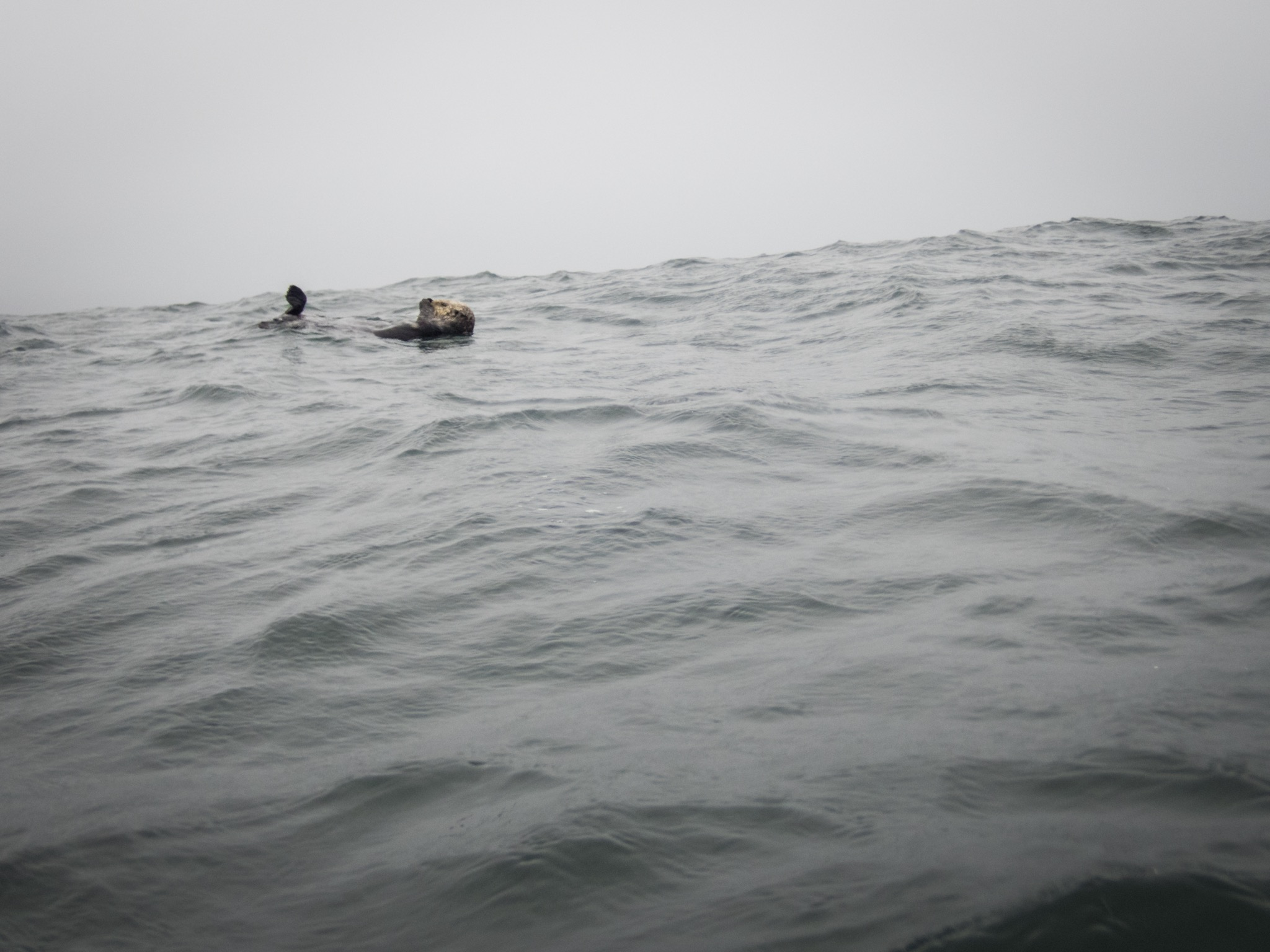 Sea otter relaxing in the swell near Quatsino Sound.