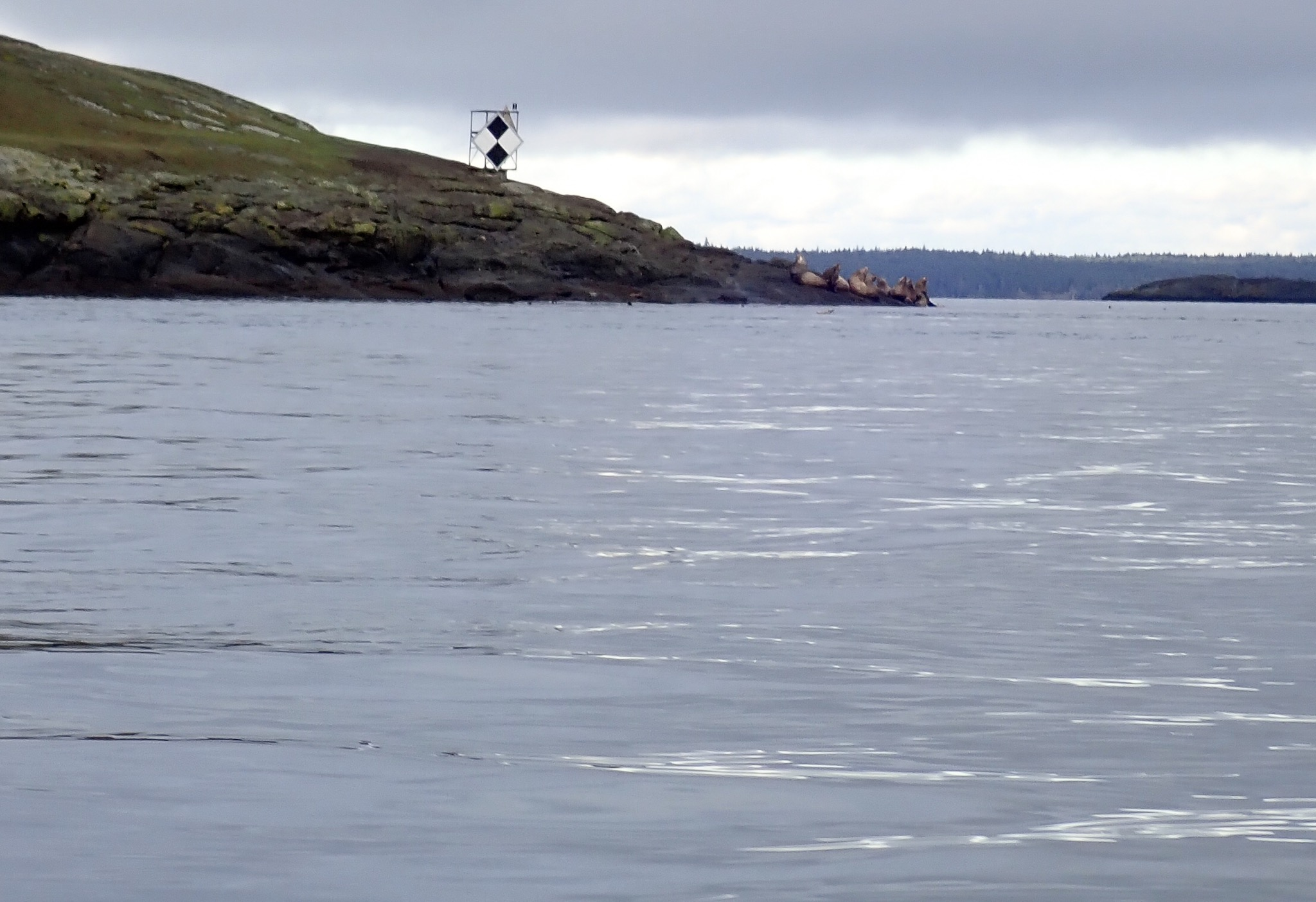 Noisy sea lions on the tip of Spieden Island.