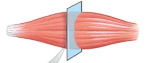 Fig . 5.1 Muscle fibers