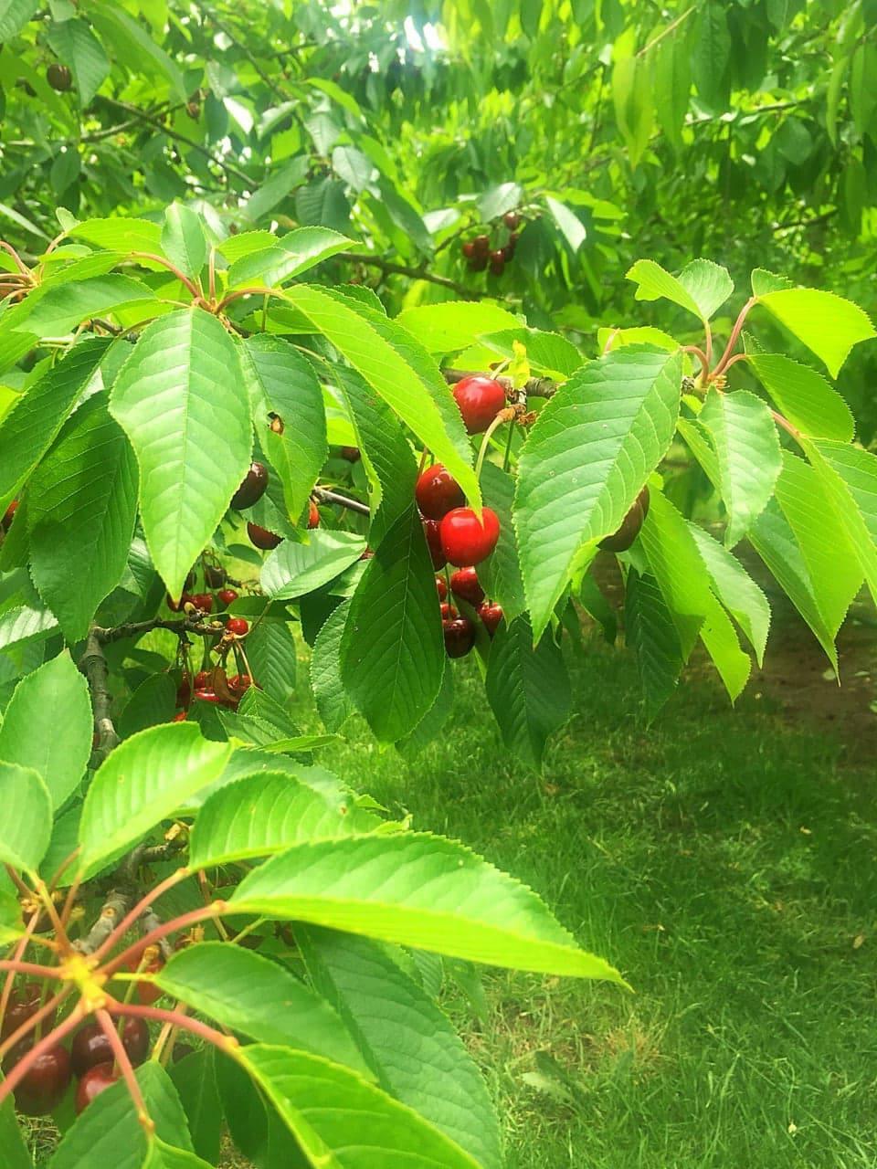 cherry orchard.jpg