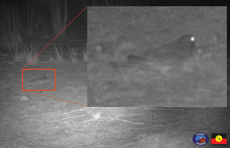 The camera trap image of the night parrot taken by the Paruku Rangers in the Great Sandy Desert.