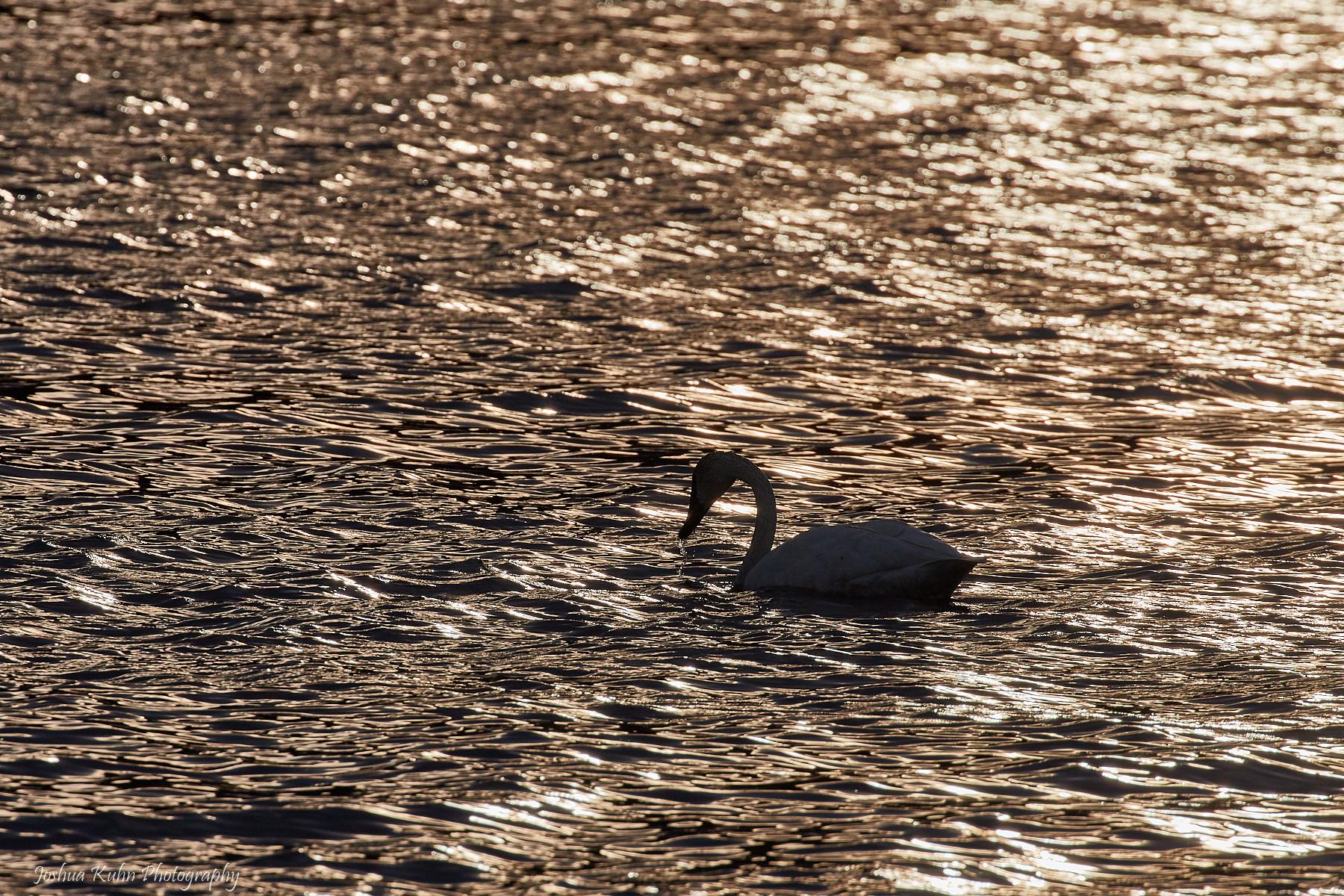 Golden Swan  Purchase