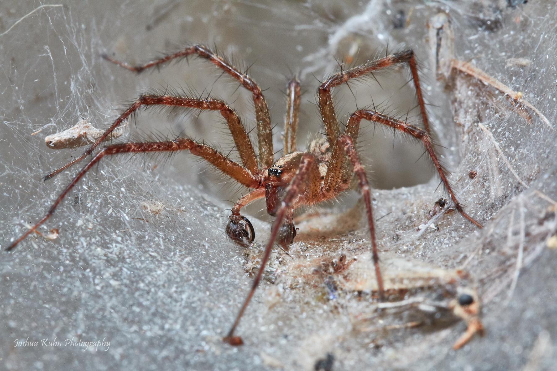 Grass Spider  Purchase
