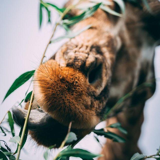 Giraffes eatin' leaves 🍃 Swipe for some great angles 😂 . . . . . #giraffe #giraffes #safari #naturephotography