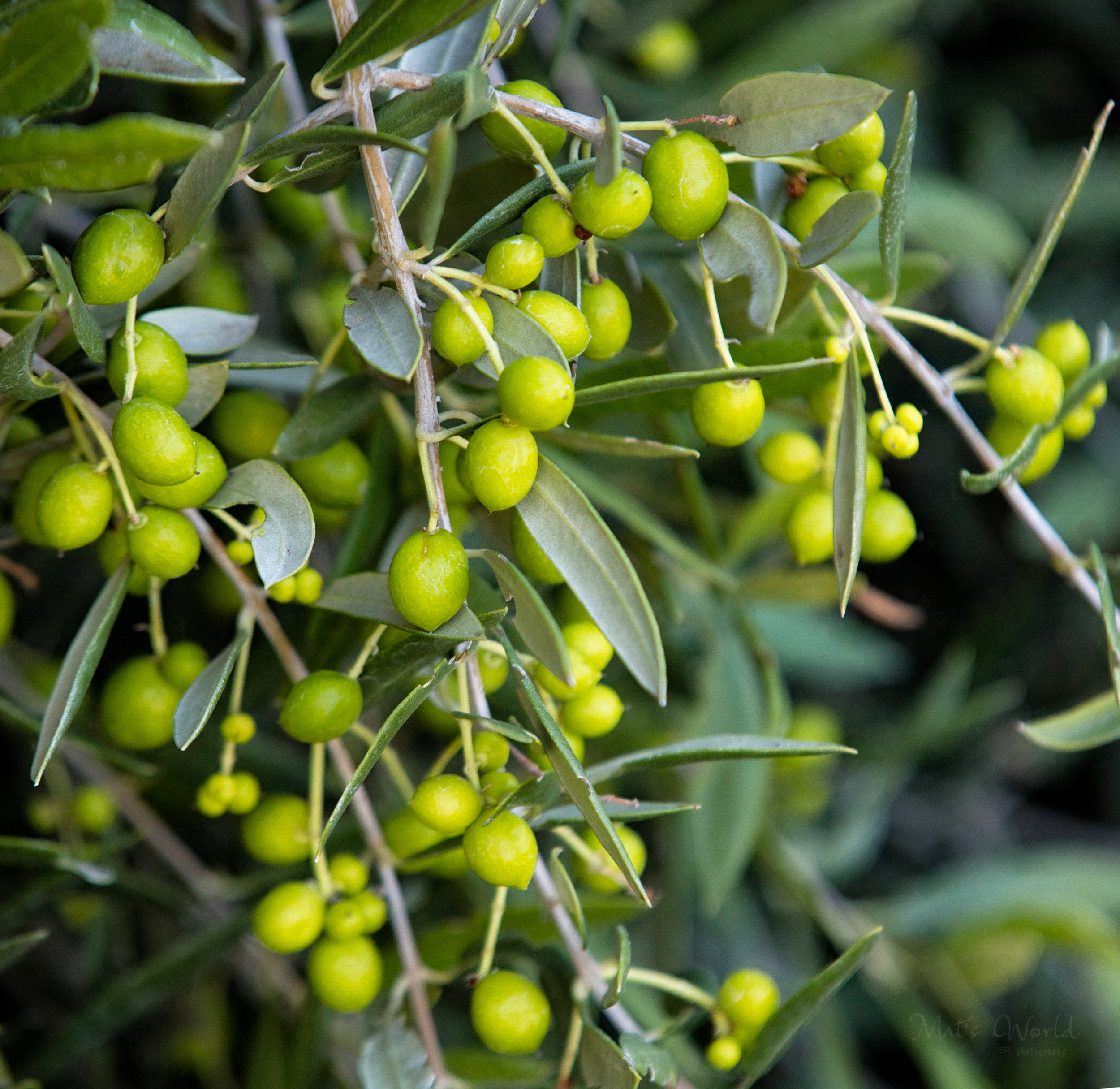 Olive365ANARepostC (1 of 1).jpg