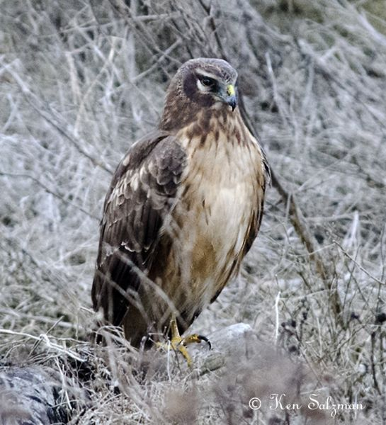 Northern-Harrier-juvenile.jpg