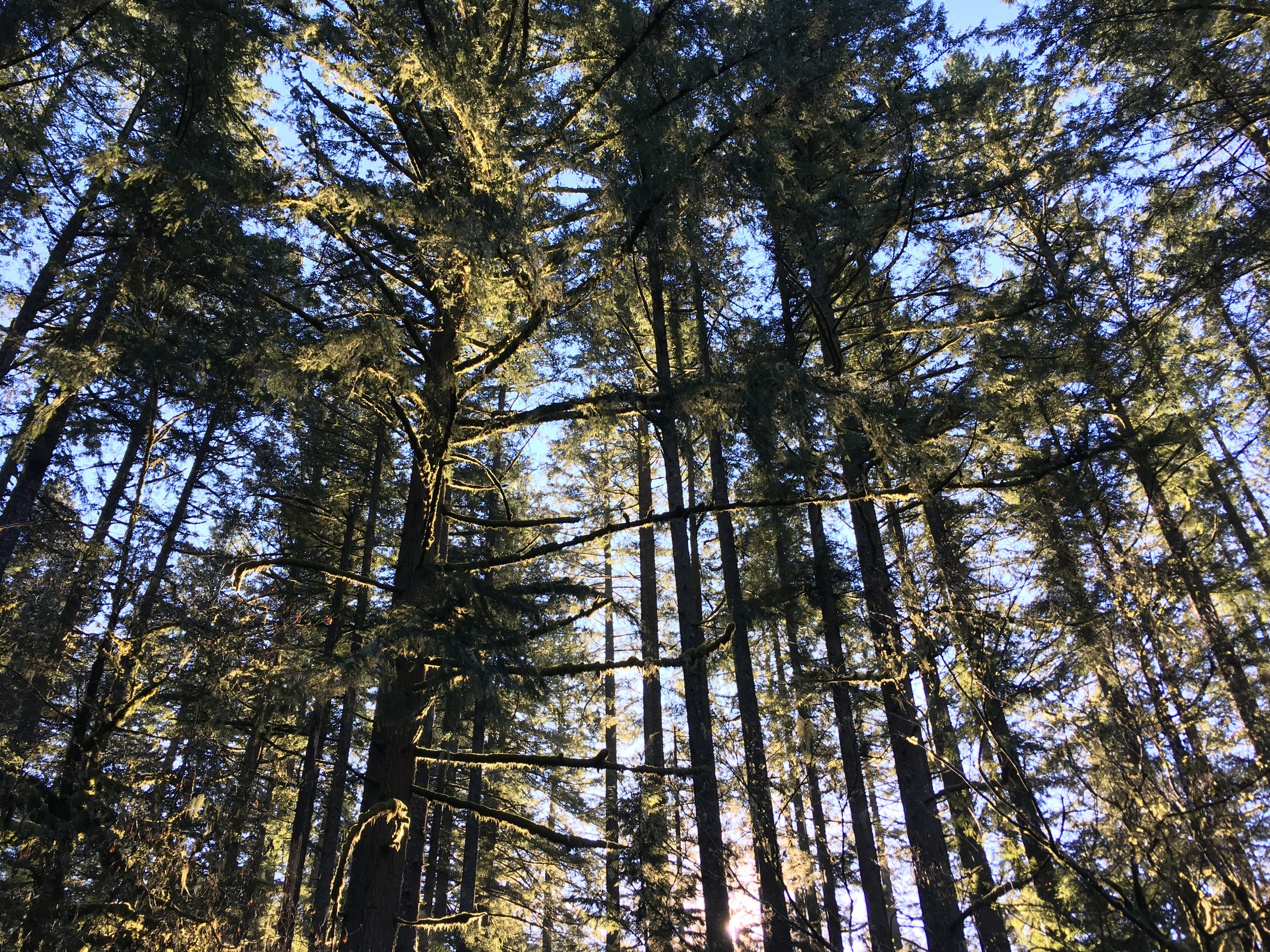 Tale of a Tall Tree    Learn all about our state tree! This interactive program illustrates how important the Douglas-fir tree is to Oregon's ecology!