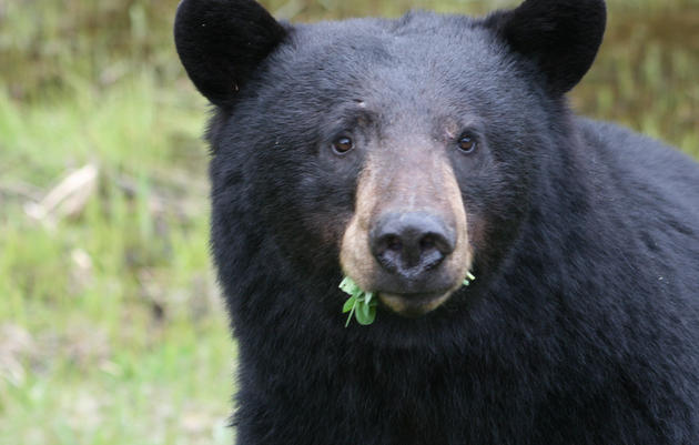Bear Necessities    A fun-filled program all about bears in Oregon! Look inside a picnic basket to discover what bears  really  eat!