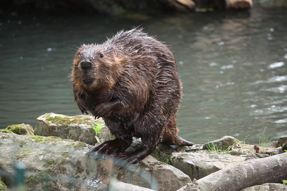 Busy Beavers    Learn all about these fascinating animals' adaptations and try your skills at building a beaver dam in this interactive program!
