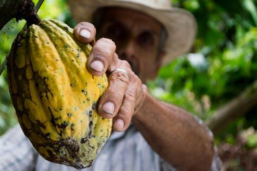 cocoa-man-harvesting cocoa fruit-50707.jpeg