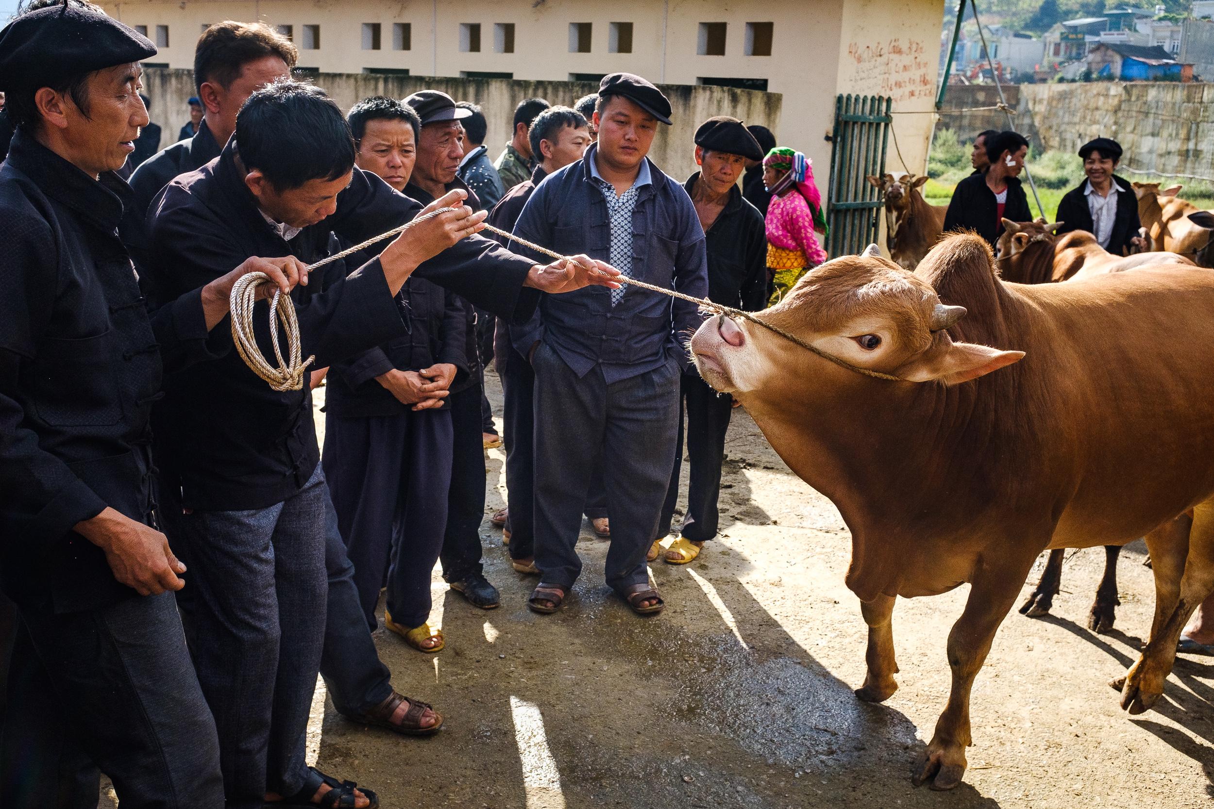 A potential buyer examining a livestock for sale in Dong van market in Northern vietnam
