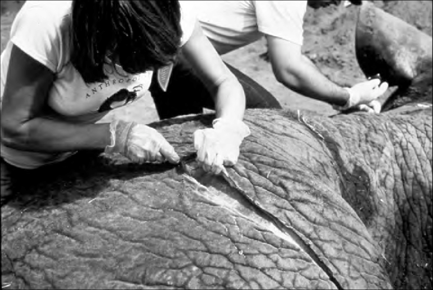 Copy of Copy of Kathy Schick cutting through an elephant hide. (Picture courtesy: Kathy Schick)