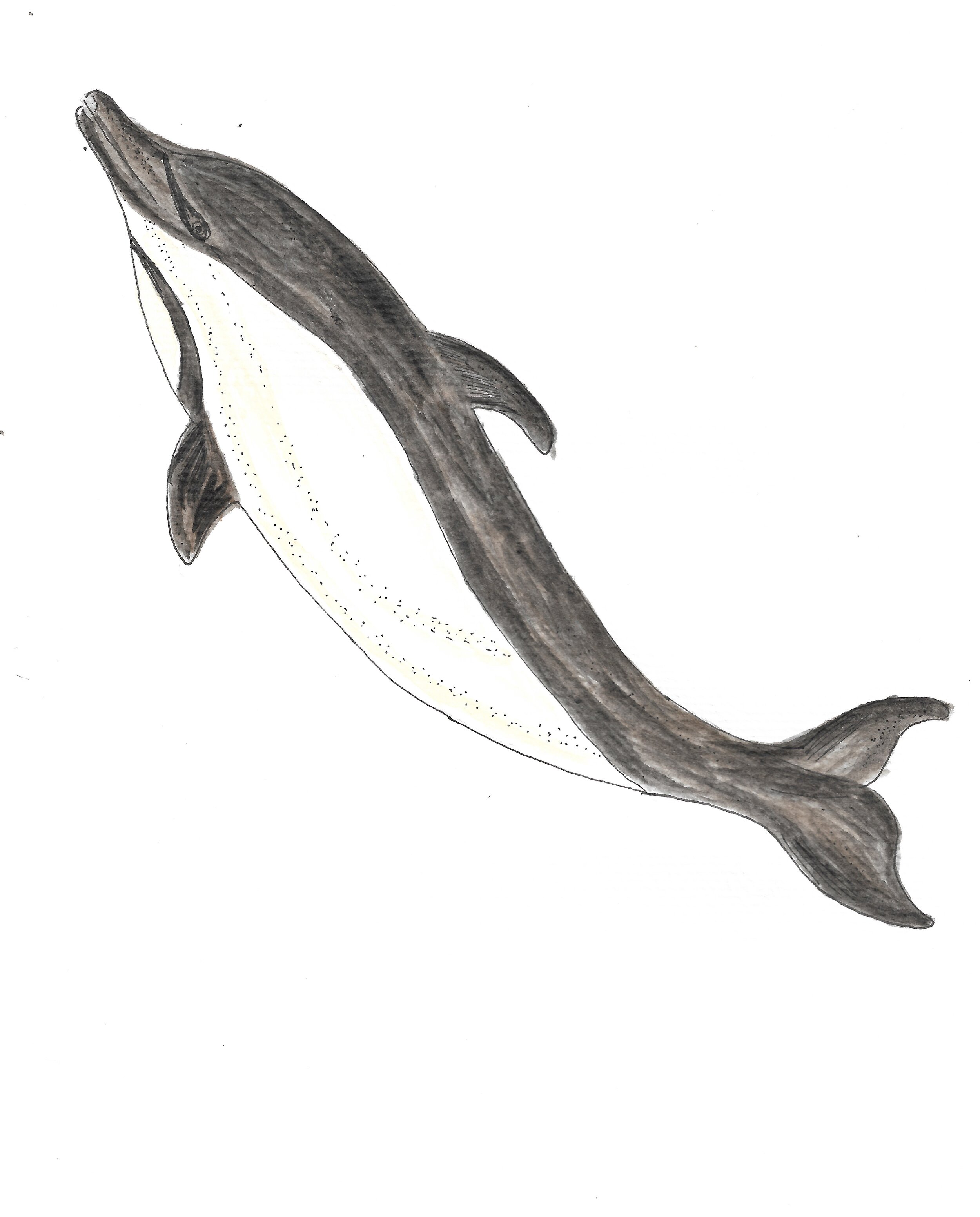 About 30 million years ago, the modern whales evolved. There were the odontocetes whales like dolphins, part of the toothed-whale family...