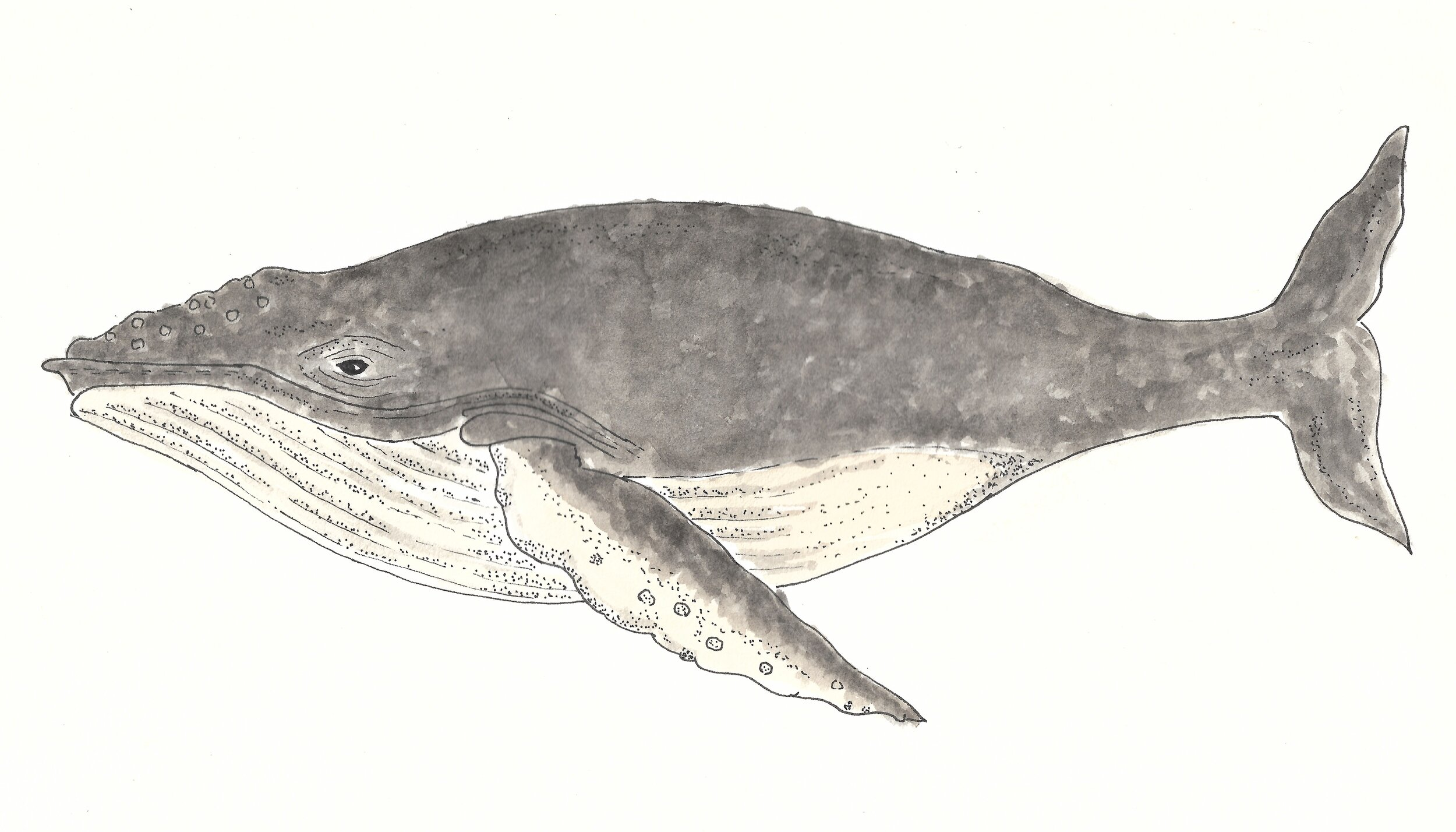 and mysticetes like the humpback whales, which forms a part of the baleen-whale family that have hair-like, mouth bristles to filter krill from the sea.