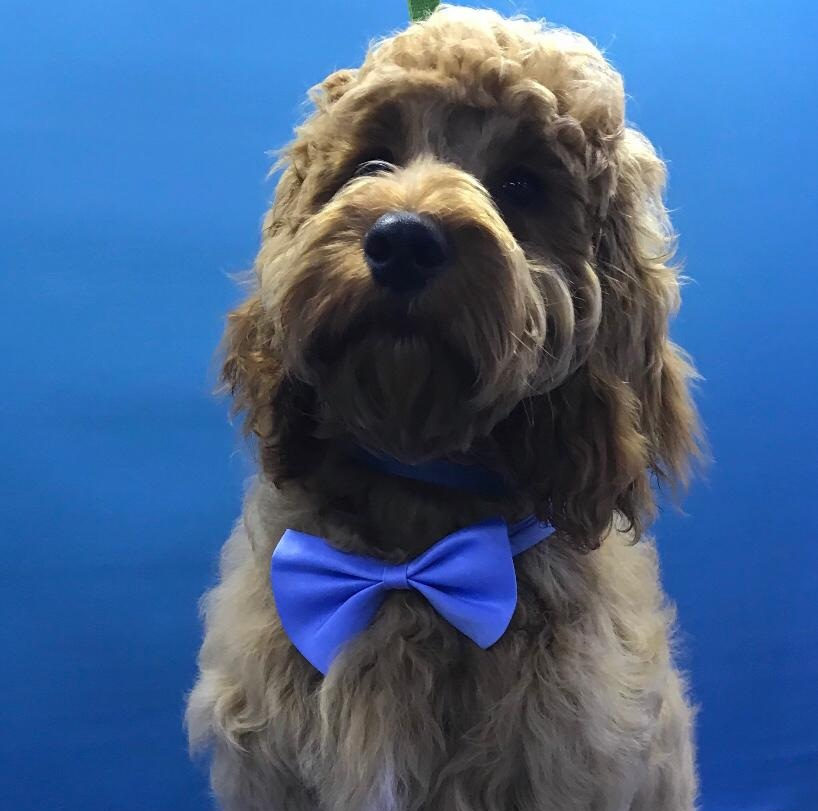 Pedro   Pedro is our very own special bundle of crazy curls. Our gorgeous little cockapoo. He also specialises in cuddles, hugs & big licks (and really enjoys annoying Smudge by pulling his ears!)  He is very fashion conscious and rarely leaves home without his dicky bow or his special jumper!