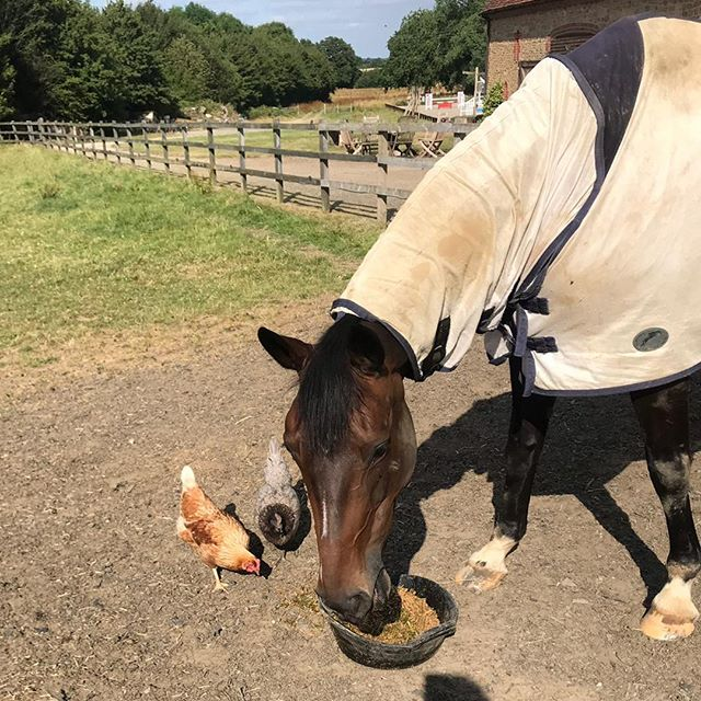 Sharing your @topspec_horse_feeds is definitely caring 😍 . . . #fedontopspec #besties #eventinghorse #dinnertime #sharingiscaring #chickensofinstagram #surreyhills #tomjacksoneventing