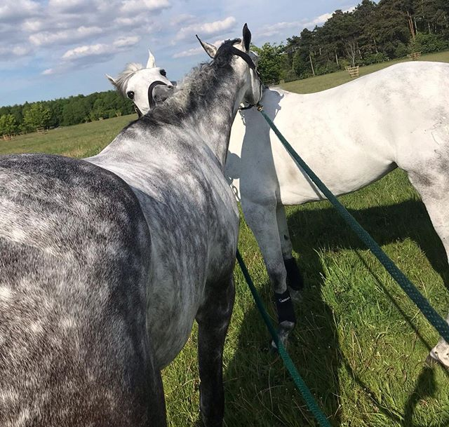 Meet Itchy & Scratchy - AKA Walshy & Hilda 🐴💞🐴 . . . . #horsesofinsta #horsesofinstagram #greysarebest #horsebestie #itchyscratchy #eventinglife #eventinghorses #tomjacksoneventing #horsehour #horse