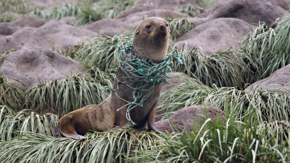 - A seal entangled in plastic netting on Bird Island, Antarctica.
