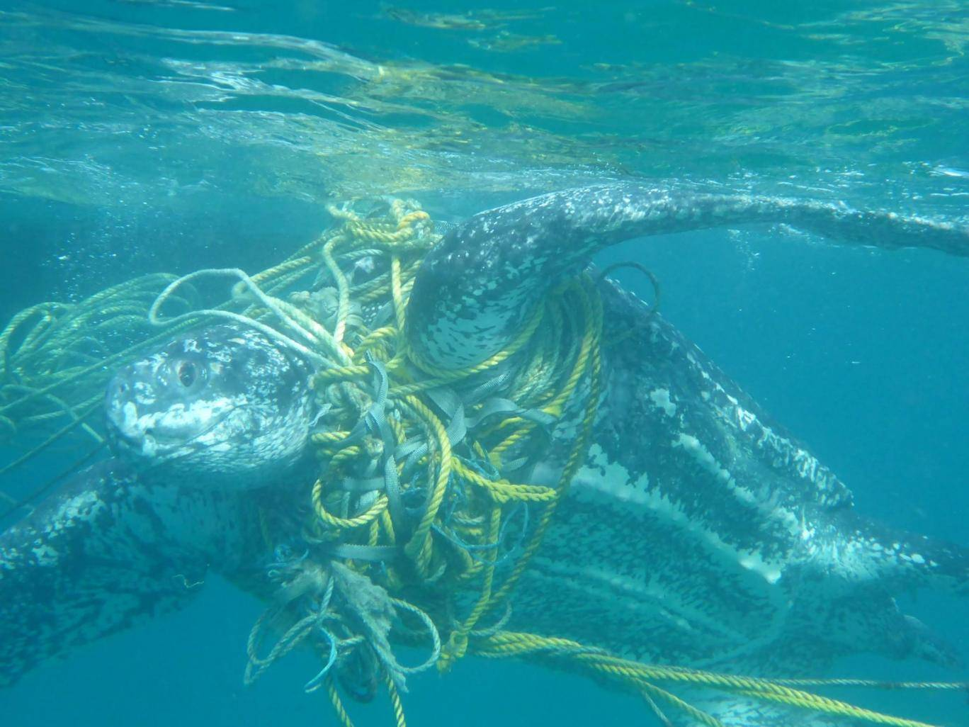 - Turtles such as this leatherback often become tangled in discarded fishing gear.