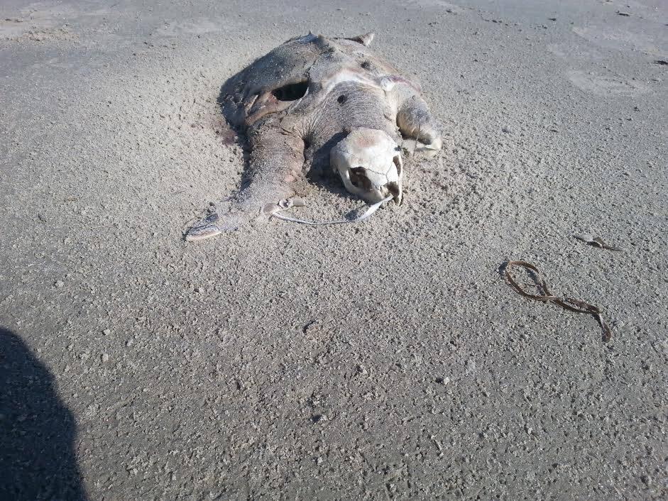 Dead-Kemp's-Ridley-sea-turtle.jpg