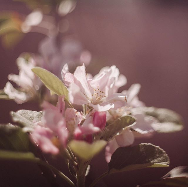 """I'm in love with apple blossoms : """"A moment can change the way you view the world, and the way you view the world will give you more moments."""" : Hello Tuesday! Welcome to #ourfreelenslife loop featuring artists who love to challenge themselves and tell a story through freelensing. :  Travel through to the next photographer's image until you land back here. : Next artist: @hello_anela : : #our52group  #thefreelensed #thefreelensedproject #howifreelens #hellostoryteller #thesincerestoryteller #exploringcreativephotography #the_cic #dearphotographer #themindfulapproach #thehonestlens"""