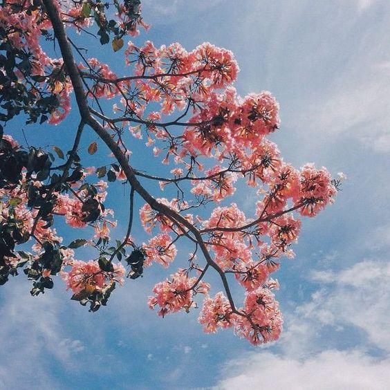 virgo cherry blossom.jpg