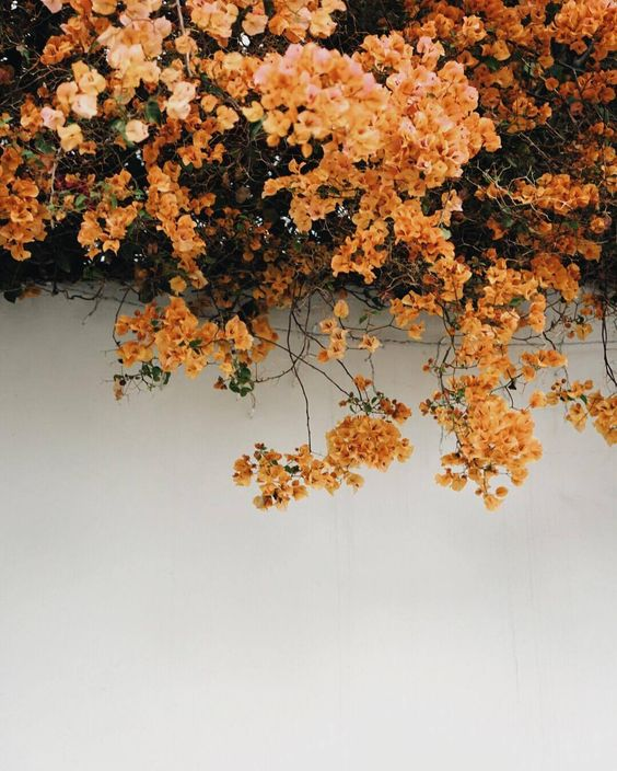 virgo cherry.jpg