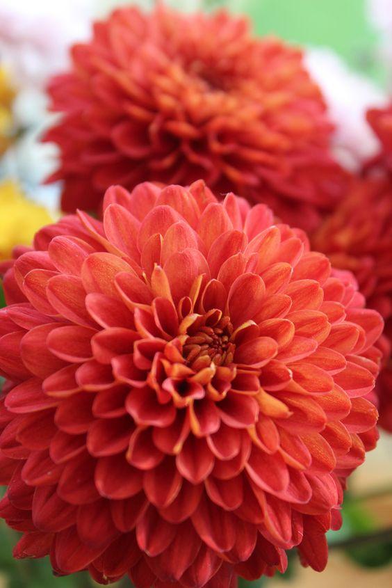 virgo chrysanthemum.jpg