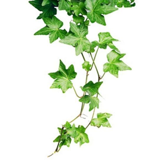virgo ivy .jpg