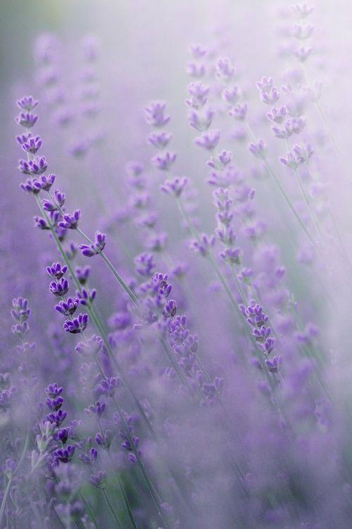 tarus lavendar .jpg
