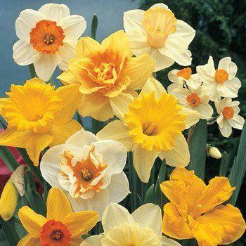 gemini daffodil.jpg