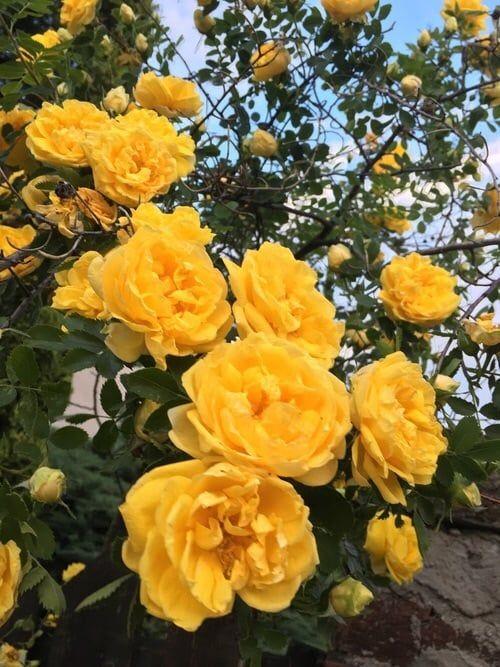 libra large rose.jpg