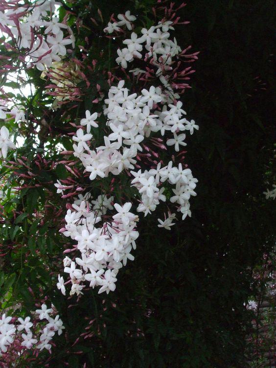 capricorn jasmine.jpg