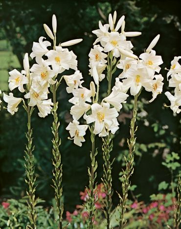pisces madonna lily.jpg