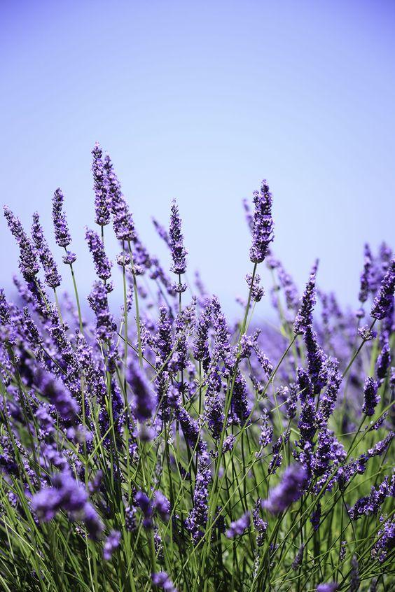 gemini lavendar .jpg