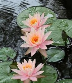 pisces water lily .jpg