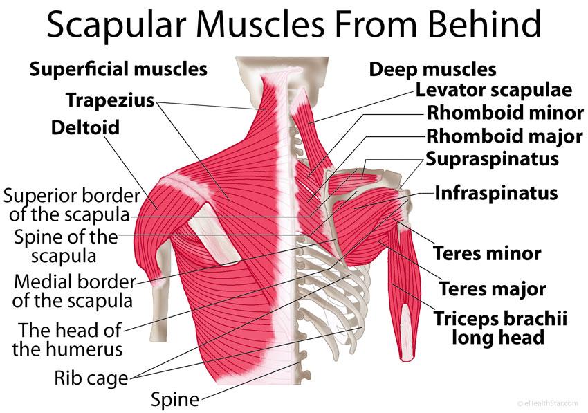 Scapula-shoulder-blade-muscles-behind.jpg