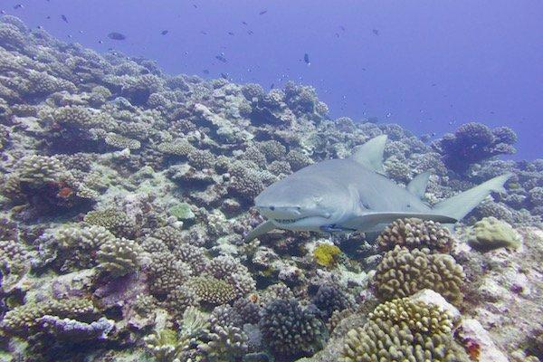 Lemon shark (Negaprion Acutidens). Credit: Kristin Hettermann
