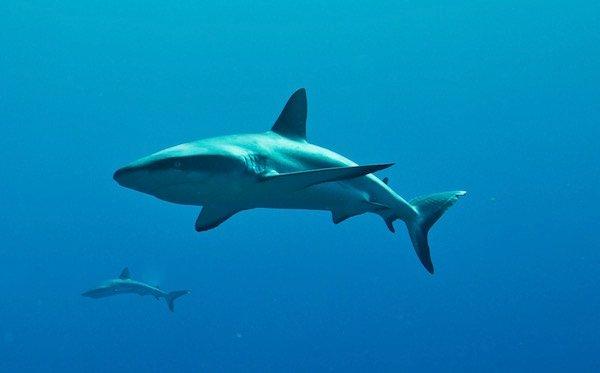 Grey reef sharks (carcharhinus amblyrhynchos). Credit: Kristin Hettermann