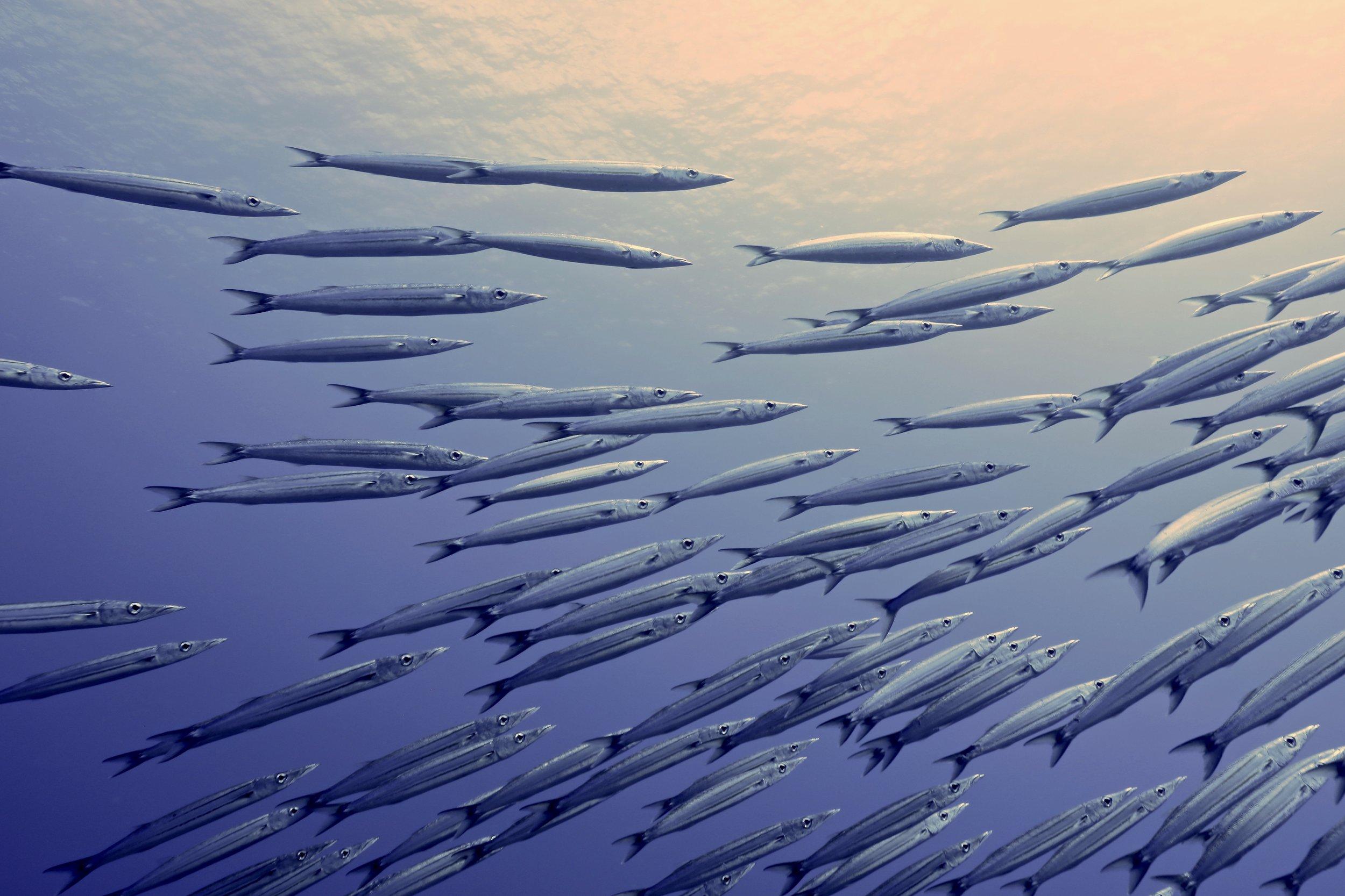 """Schooling Barracuda"" ~ Fa'aite, French Polynesia ~ no.1"
