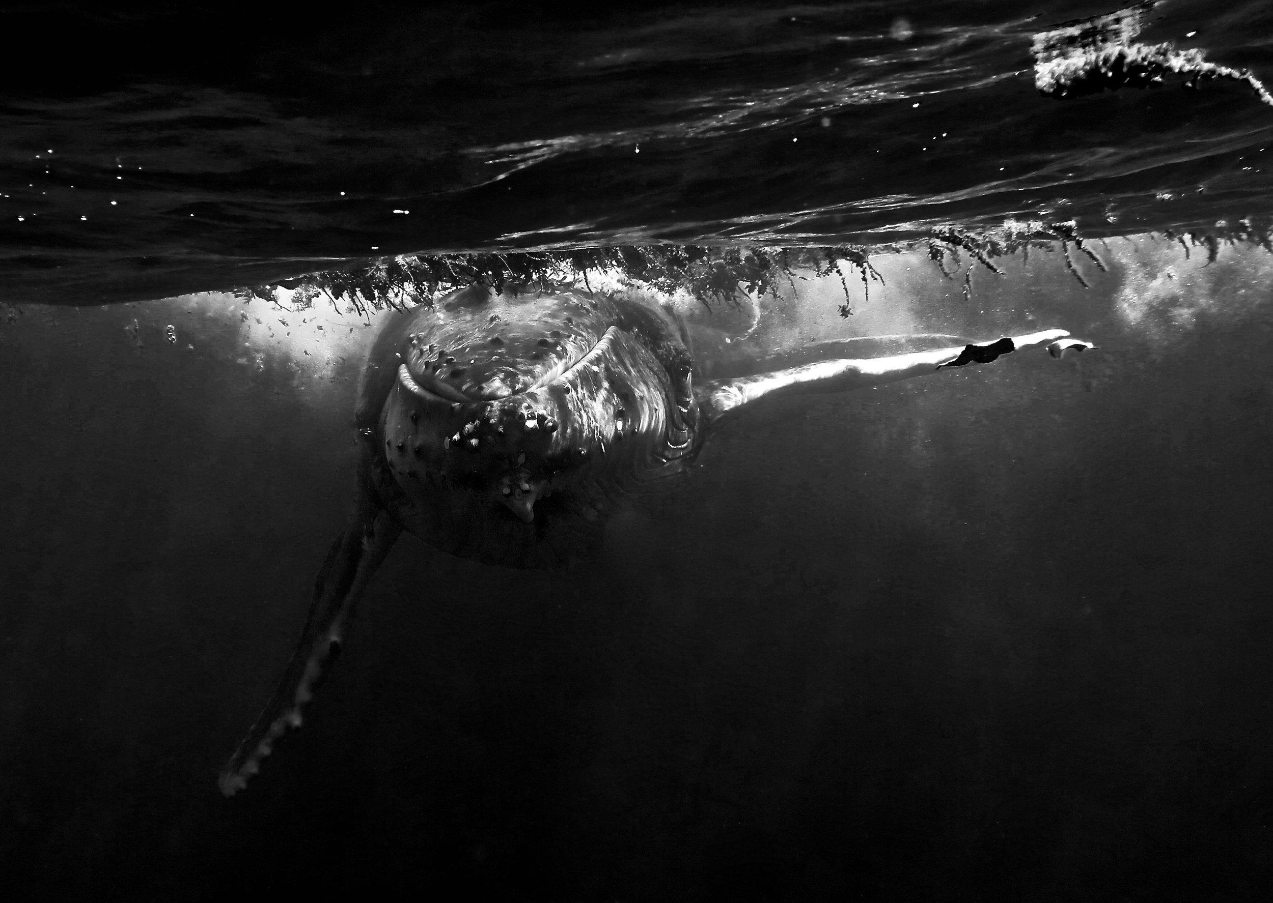 """Humpback Approach"" ~ Mo'orea, French Polynesia ~ no.12"