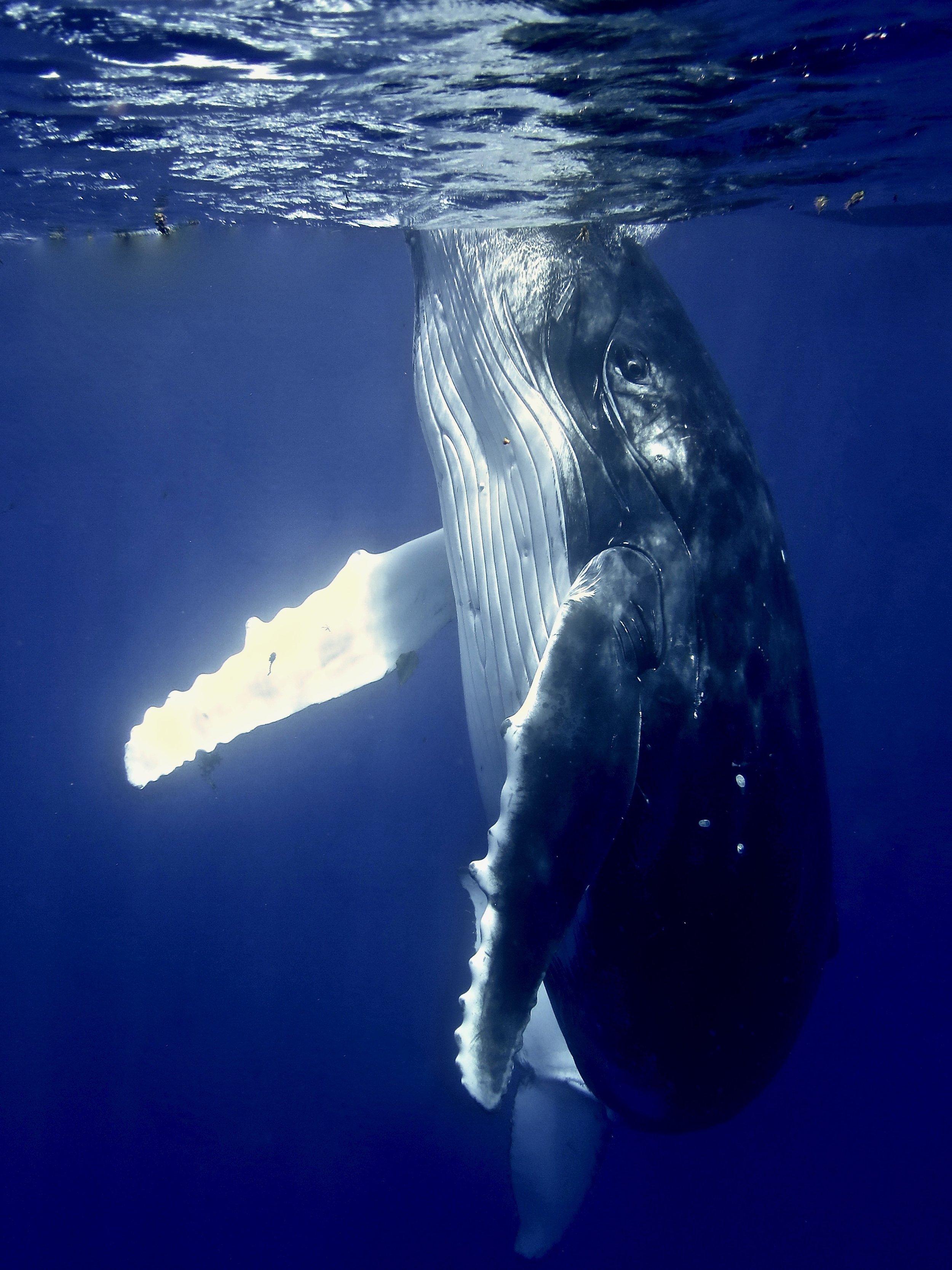 """Hello Humpback"" ~ Mo'orea, French Polynesia ~ no.13"