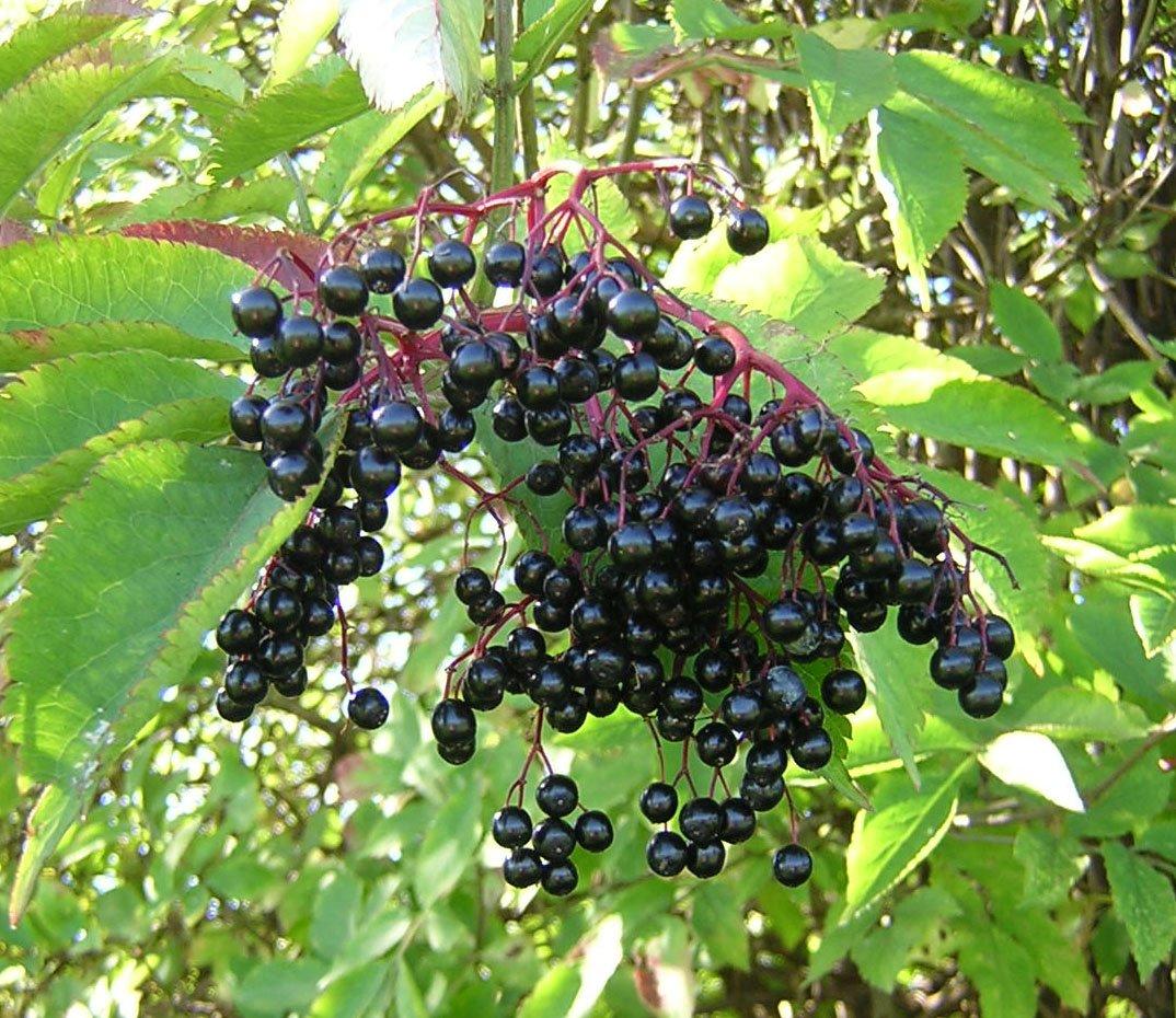 elderberry free.jpg