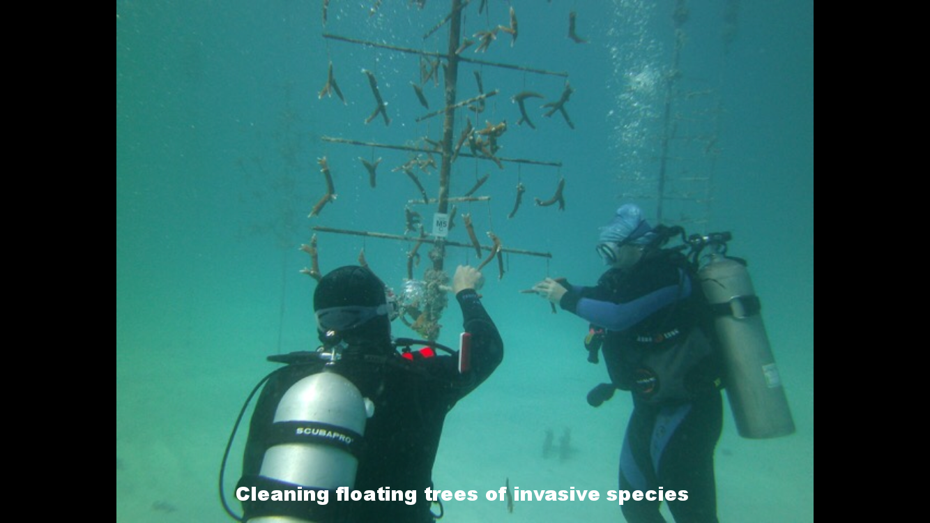Tying coral fragments to underwater tree structures.