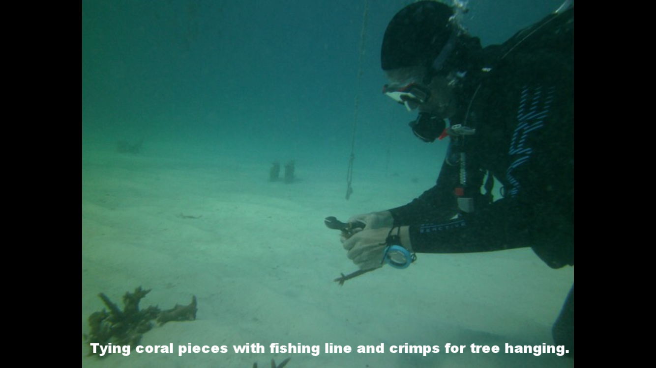 Wrapping coral fragments in fishing line with crimps for hanging.