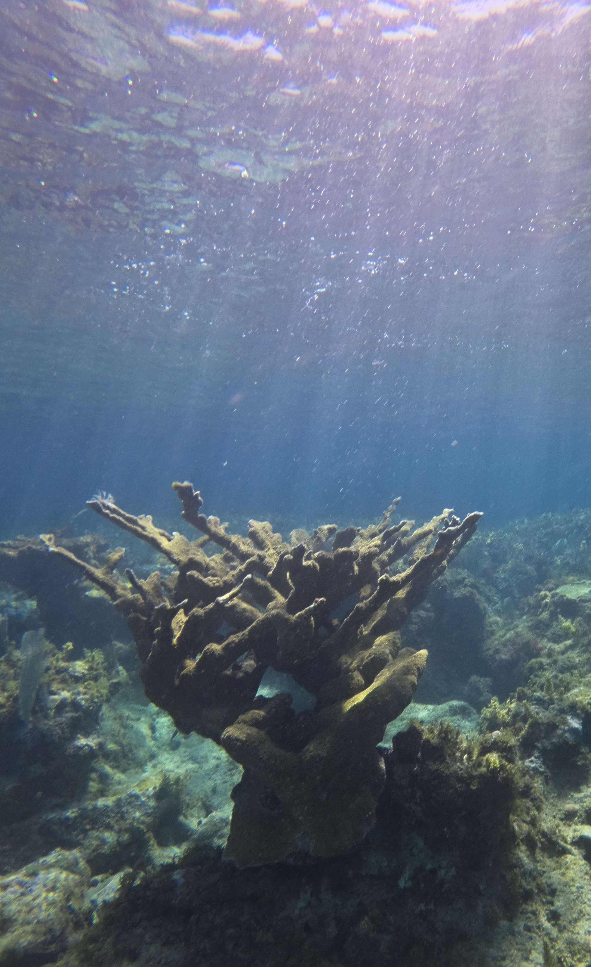 A long-lived Elkhorn coral colony on the reef